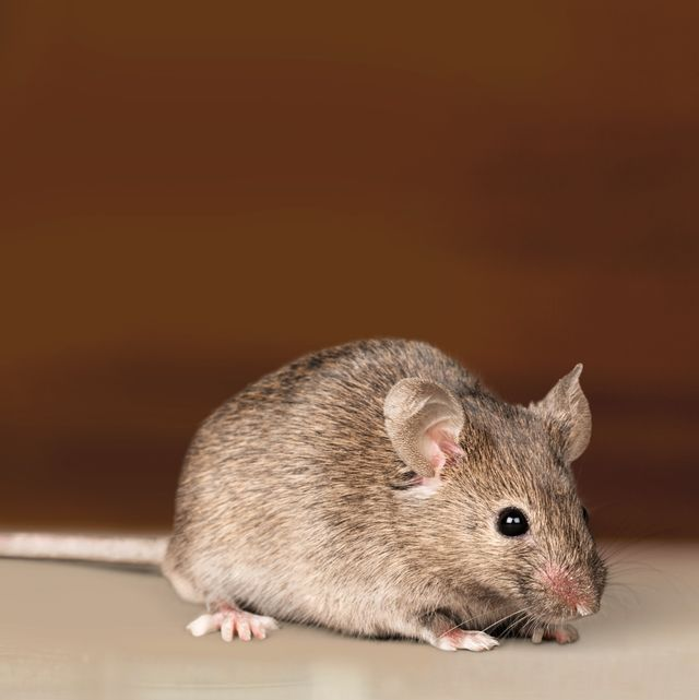 How To Get Rid Of Mice In Your House, How To Control Mice In Basement
