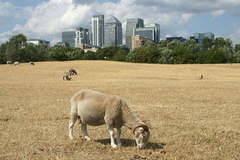 Pasture, Grazing, Sheep, Grass, Sky, Human settlement, Sheep, Wildlife, Grass family, Grassland,