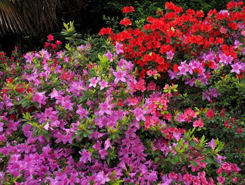 Multicolor Azaleas Flowering On Lake Maggiore, North Italy