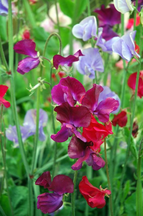Multicoloured blooming sweet peas