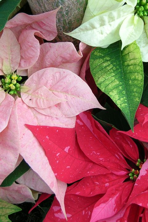 Multiple array of poinsettia colors