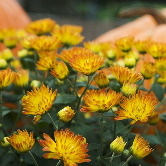 25 Fall Flowers and Plants for the Perfect Autumn Garden