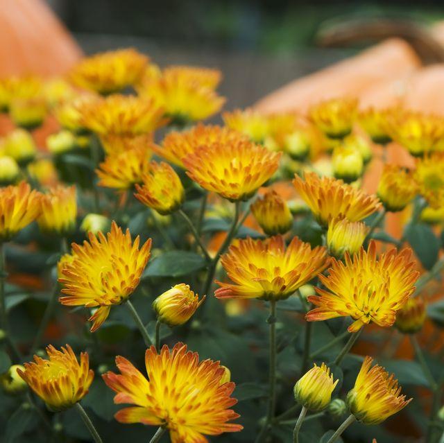 25 Fall Flowers Plants For An Autumn Garden
