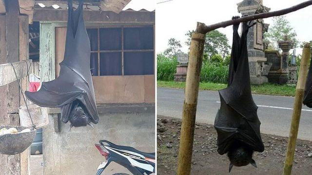dos ejemplares del murciélago conocido como el zorro volador filipino