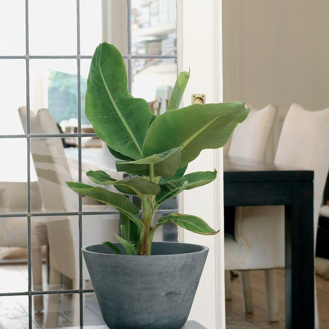 musa acuminata dwarf cavendish banana leaf plant