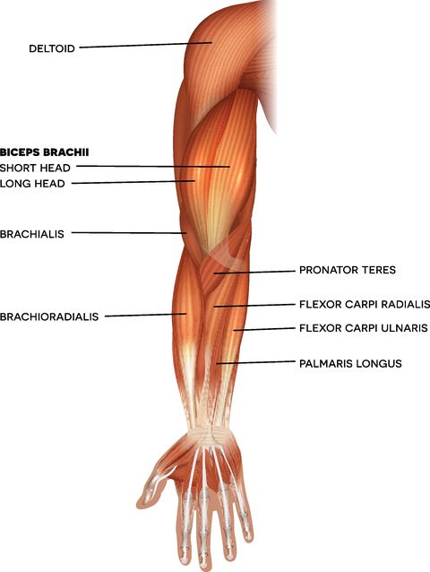 muscles of the hand and arm