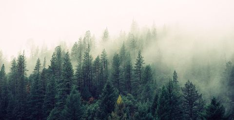 shortleaf black spruce, Tree, Mist, Nature, Atmospheric phenomenon, Spruce-fir forest, Tropical and subtropical coniferous forests, Forest, Fog, Sky,
