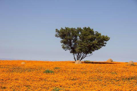 Field, Tree, Yellow, Natural landscape, Vegetation, Sky, Natural environment, Plant, Plain, Ecoregion,