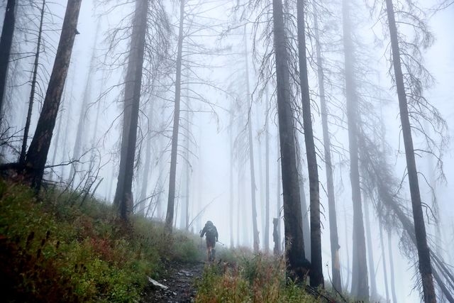 glacier national park, montana   september 17 us park service revegetation crew lead carleton gritts hikes through fog among the trees blackened by the 2017 sprague creek fire on his way to the mt brown lookout station september 17, 2019 in glacier national park, montana gritts' crew planted 585 two year old whitebark pine seedlings among the skeletal remains of this forest because the tree grows more successfully in ground that was recently burned with annual average temperatures in montana rising almost three degrees fahrenheit since 1950, high elevation tree species like the whitebark pine that were not previously threatened are now facing an increase in blister rust infections, mountain pine beetle infestations and wildfire a slow growing species that lives at elevations above 6,000 feet, the whitebark is an essential source of food for many birds and small mammals photo by chip somodevillagetty images