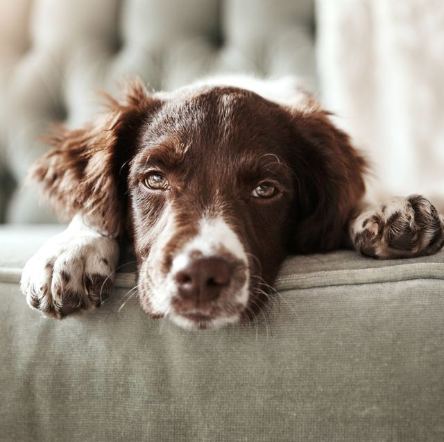 dogs go through a midlife crisis and get bored as they get older, a new study has uncovered