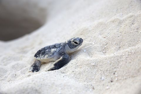 new born sea turtle coming out from nest