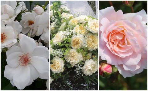 New rose breeds for 2018 - RHS Hampton Court Palace Flower Show