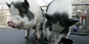 Oliver (L) and Otis (R), two Vietnamese...