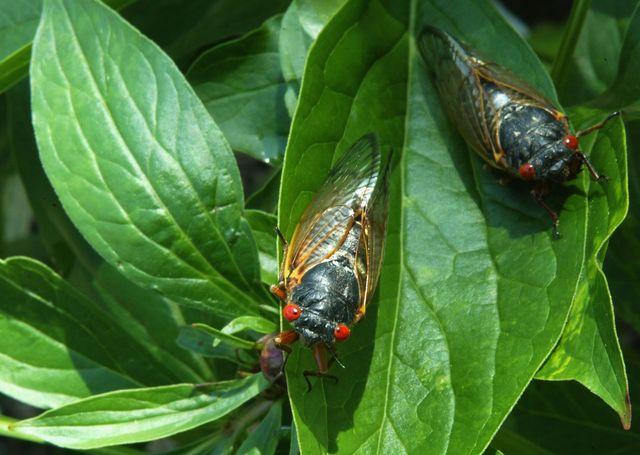 cicadas start to emerge after 17 year slumber