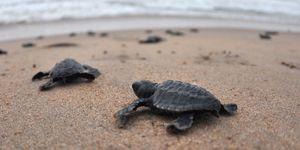 Drone Footage 64 000 Nesting Sea Turtles Near Great Barrier Reef