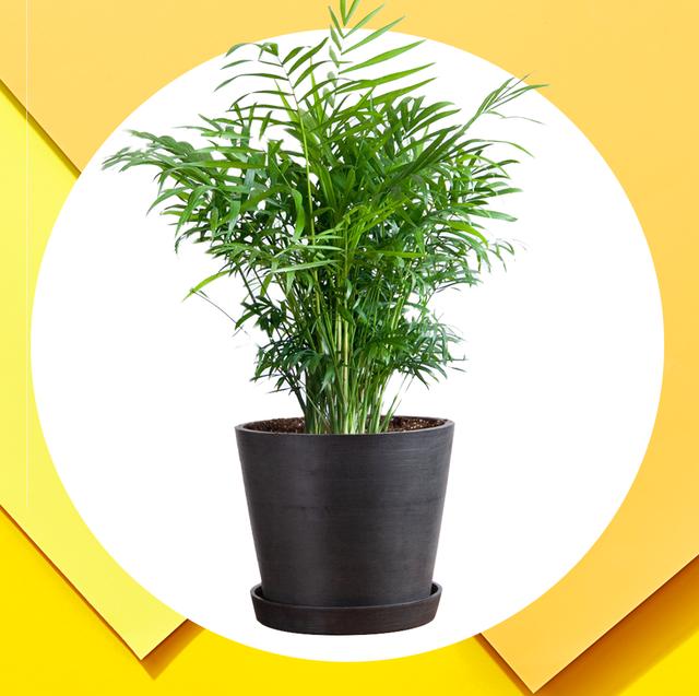 20 Best Tall Indoor Plants Best Indoor Trees For Your Home