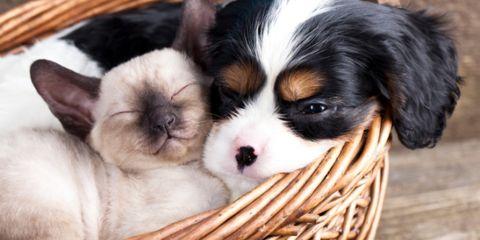 Dog breed, Vertebrate, Dog, Carnivore, Mammal, Basket, Puppy, Snout, Working animal, Storage basket,