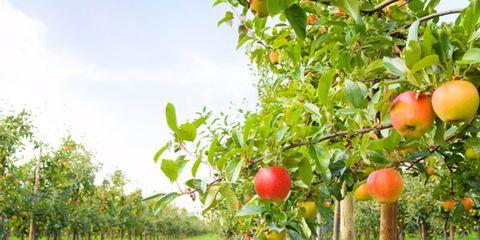 Antibiotics in Apple Orchards