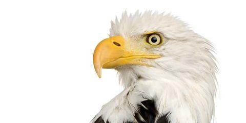 Bald eagle, Brown, Yellow, Beak, Bird, Organism, Accipitridae, White, Bird of prey, Feather,