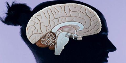 Cheek, Chin, Organ, Art, Temple, Brain, Illustration, Brain, Drawing, Nautilus,