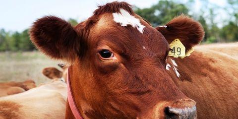 Brown, Natural environment, Organism, Bovine, Vertebrate, Terrestrial animal, Pasture, Dairy cow, Mammal, Rural area,