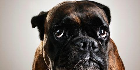 Brown, Skin, Carnivore, Dog, Mammal, Dog breed, Snout, Wrinkle, Fawn, Black,