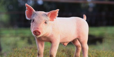 Nature, Grass, Skin, Photograph, Pink, Summer, Suidae, Domestic pig, Snout, Rural area,
