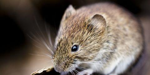 Organism, Skin, Pest, Vertebrate, Mouse, Whiskers, Rodent, Rat, Adaptation, Iris,
