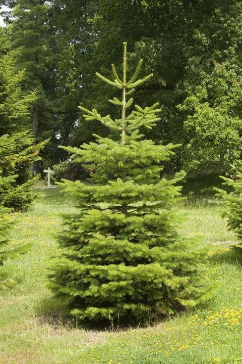Real Christmas Tree Buying Guide What Are The Best Real