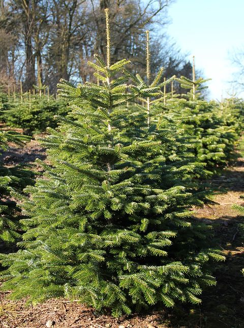 Real Christmas Tree Guide Types Of Real Christmas Trees For Sale
