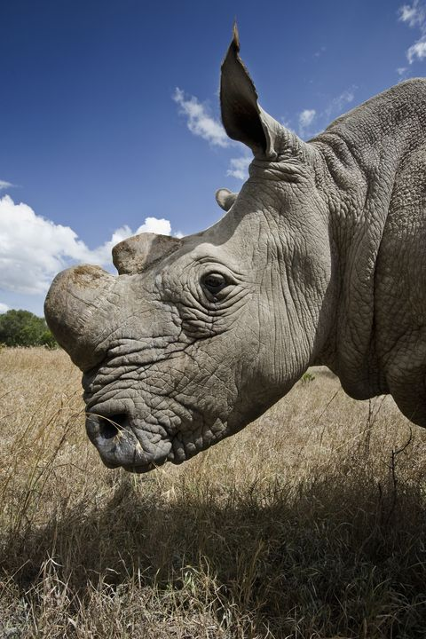 Northern white rhinoceros (Ceratotherium simum cottoni) returned to the wild at Ol Pejeta Conservancy, Kenya, in June 2010.  The species is extinct in the wild with only eight left in captivity and so is critically endangered. This photograph is part of a