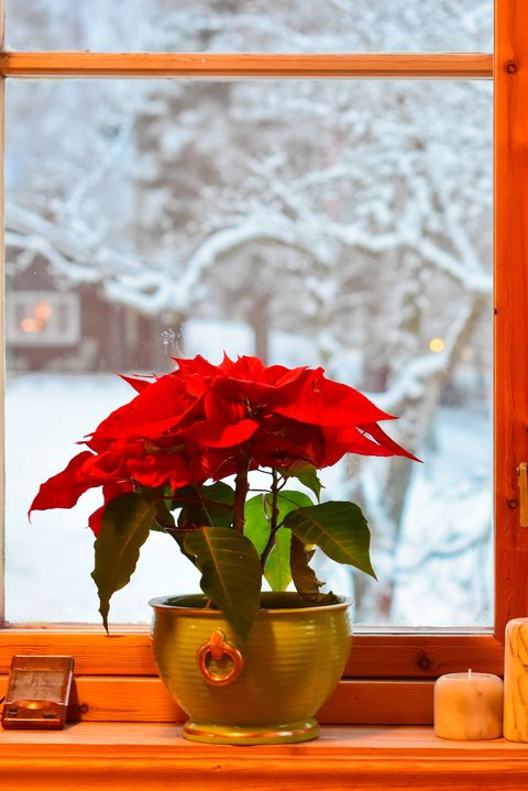 Norwegian Christmas traditions. Two Poinsettias and candlesticks in the kitchen window. View on garden and trees with snow.