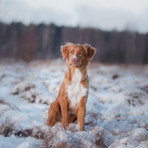 Nova Scotia Duck Tolling Retriever Dog in winter forest