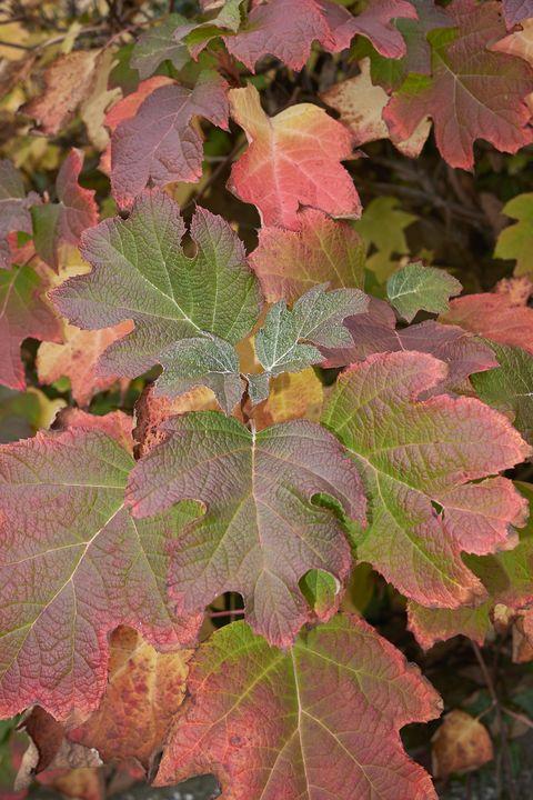hydrangea quercifolia autumn foliage