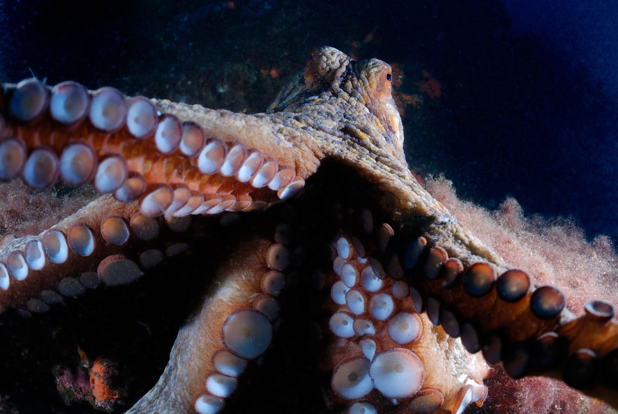 This Is What It Looks Like When Octopuses Attack