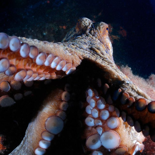 Octopus attacking with tentacles open, close-up