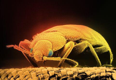 SEM of bloodsucking bed bug (Cimex hemipterus) x15 (Digital Composite)