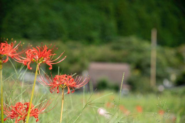 京都・大原に咲く彼岸花