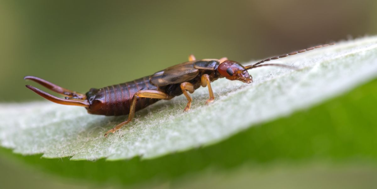 How to Control Earwigs In Your Garden — Best Ways to Get Rid of Earwigs