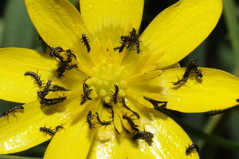 Oil Beetle larva on Fig buttercup - Vosges du Nord France,Pending the passage of a bee to parasitize