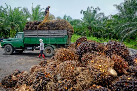 Oil palm plantation workers prepare to unload freshly harvested fruit.