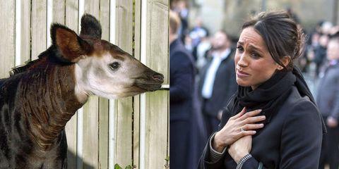 Okapi, Vertebrate, Mammal, Giraffidae, Wildlife, Snout, Giraffe, Zoo, Fawn,