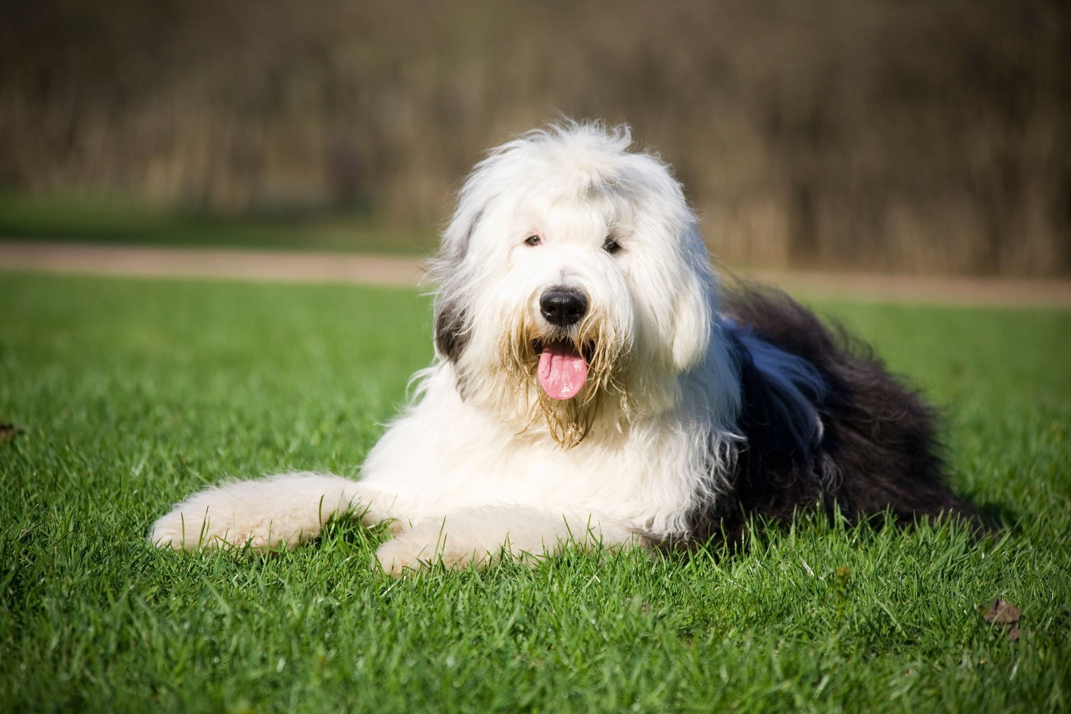 The Old English Sheepdog is officially now at risk of extinction, according to The Kennel Club