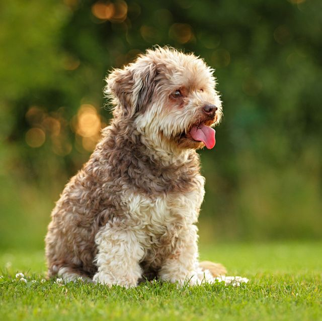 old small dog sitting on a meadow in summer
