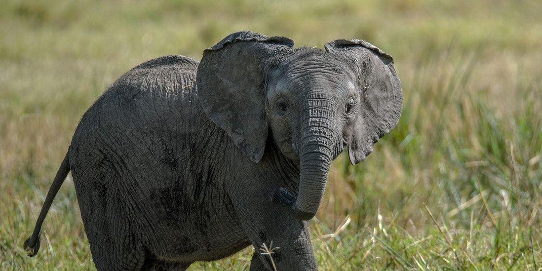 video-olifant-redt-verzorger