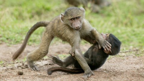 Olive baboon, Papio anubis