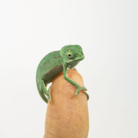 one day old chameleon baby