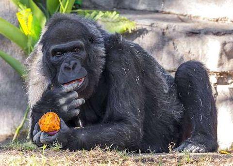 Mammal, Vertebrate, Primate, Terrestrial animal, Snout, Nature reserve, Common chimpanzee, Grass, Temple, Organism,