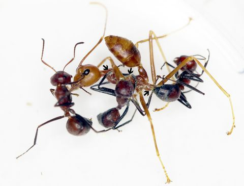 Insect, Ant, Pest, Carpenter ant, Invertebrate, Membrane-winged insect, Arthropod,