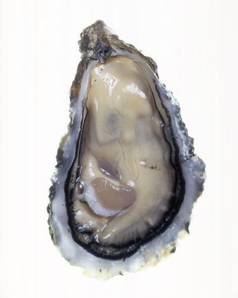 Opened oyster, close up